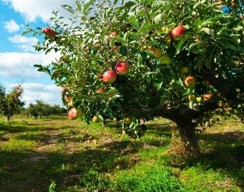 A picture of a apple tree