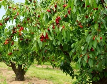 A picture of a cherry tree