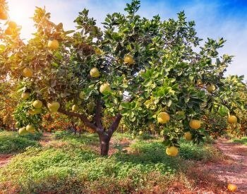 A picture of a grapefruit tree