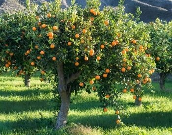 A picture of a orange tree