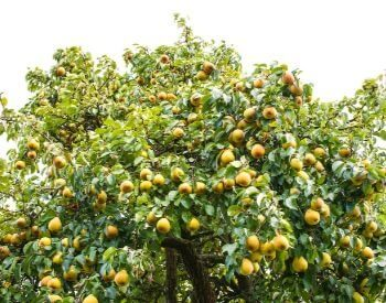 A picture of a pear tree