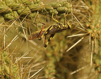 A photo of a two-striped grasshopper