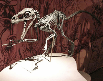 A photo of a Velociraptor fossil, a dinosaur that lived during the Late Cretaceous Period