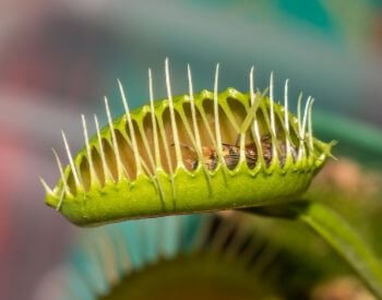 A picture of a venus flytrap with a bee