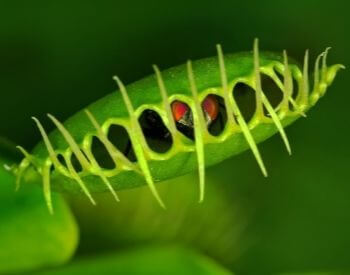 A picture of a venus flytrap with a fly
