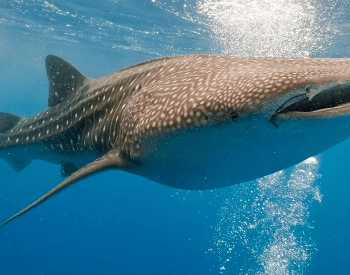 A picture of a whake shark.