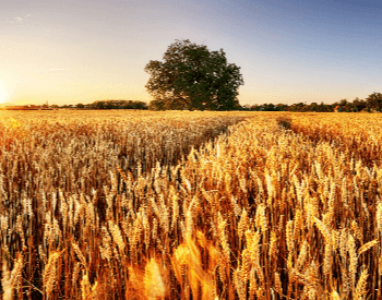 A picture of a very large wheat farm