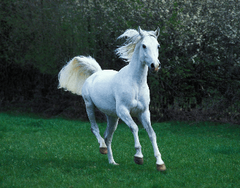 A picture of a white Arabian horse