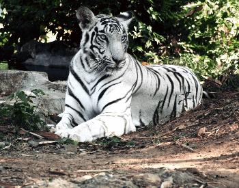 A White Tiger