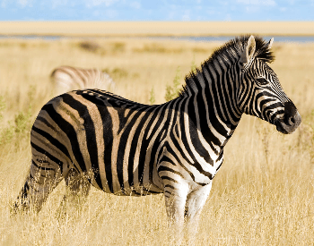 A picture of a zebra in tall grass