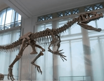 The Allosaurus exhibit at the Brussels Museum of Natural History