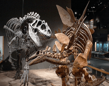 A museum exhibit of an Allosaurus fighting a Stegosaurus
