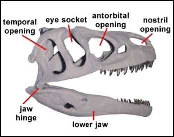 A diagram of a Allosaurus skill