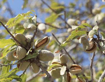 A close-up picture of almonds on an almond tree