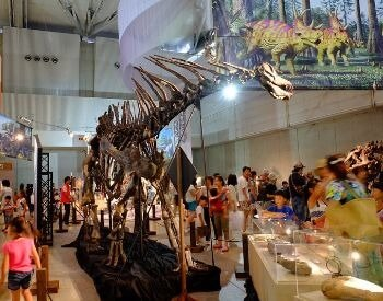 A picture of a Amargasaurus skeleton in a museum