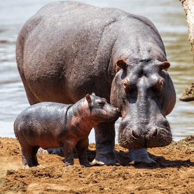 A Picture of a Hippo