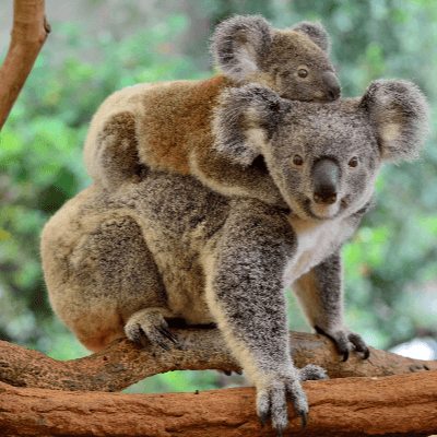 A Picture of a Koala