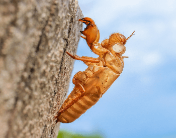 A picture of an empty cicada shell