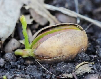 A picture of an oak tree seed germinating