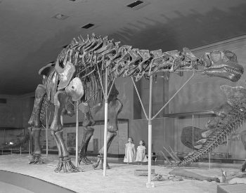 An old photo of an Apatosaurus Museum Exhibit