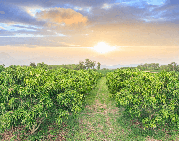A picture of a mango orchard