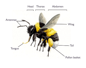 An anatomy diagram of a bumble bee