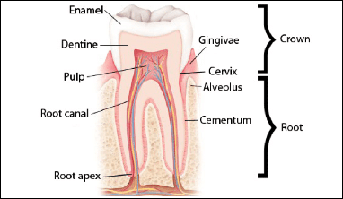 A diagram showing the anatomy of a human tooth