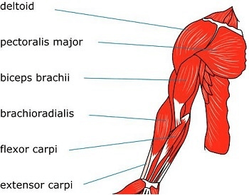 A diagram of the muscles in the human arms