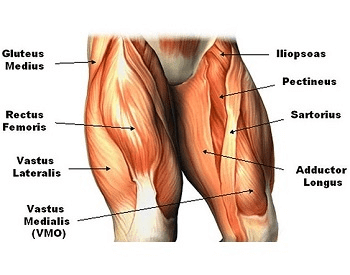 A diagram of the muscles in the human legs