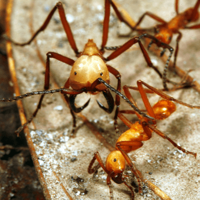 A Picture of a Army Ants