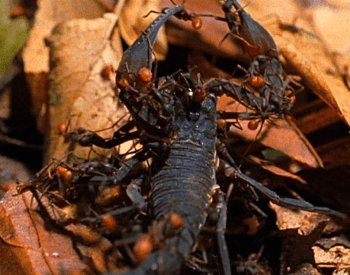 A picture of army ants attacking a scorpion