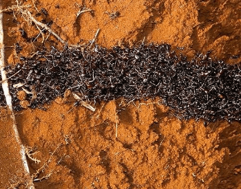 A picture of army ants moving in a column