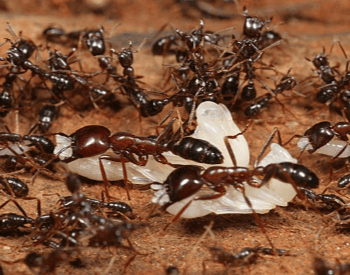 A picture of Army Ants
