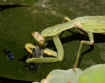 An Asian praying mantis (Hierodula tenuidentata) eating a guppy