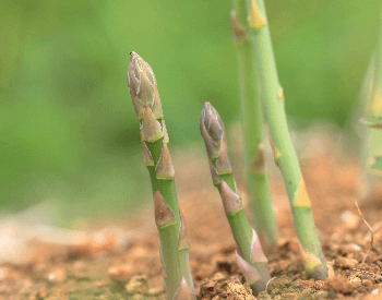 A picture of asparagus growing in the ground