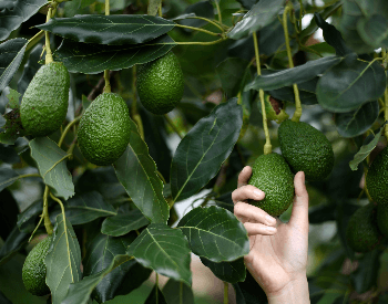 A picture of avocados being harvested