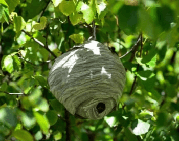 A picture of a bald-faced hornet nest