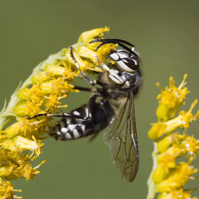 A picture of a bald-faced hornet