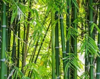 A picture of a forest with bamboo trees