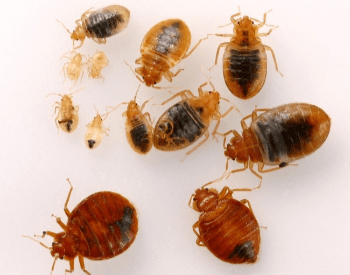 A picture of bed bug adults and nymphs