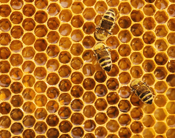 A picture of bees on a honey comb
