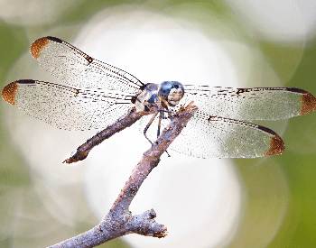 A photo of a blue dasher (Pachydiplax longipennis) dragonfly