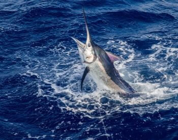 A picture of a blue marlin
