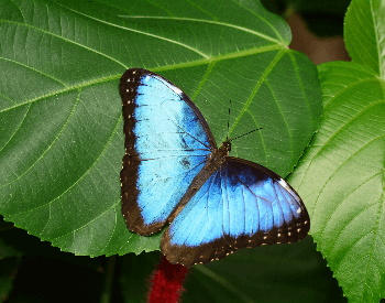 A picture of a Blue Morpho Butterfly (Morpho menelaus)