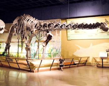 A photo of the Brontosaurus in the Cleveland Museum of Natural History.