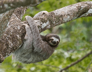 A picture of a brown-throated three-toed sloth (Bradypus variegatus)