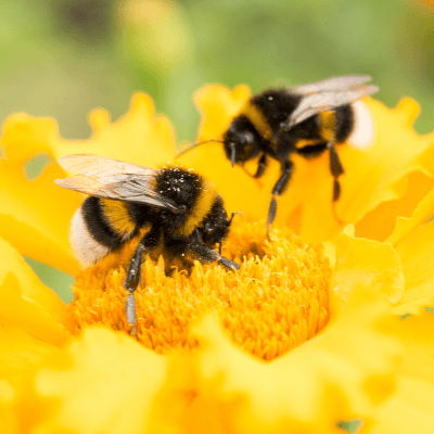 A Picture of a Bumble Bee