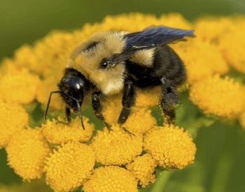 A picture of a bumble bee on a flower