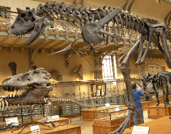 The Carnotaurus Exhibit at the French National Museum of Natural History