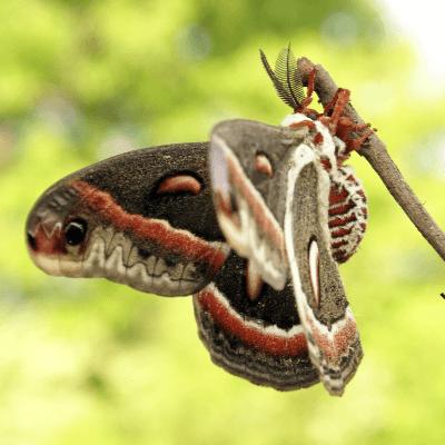 A Picture of a Luna Moth